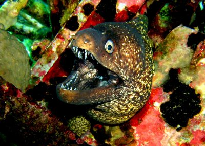 Moray eel, teeth, colourful
