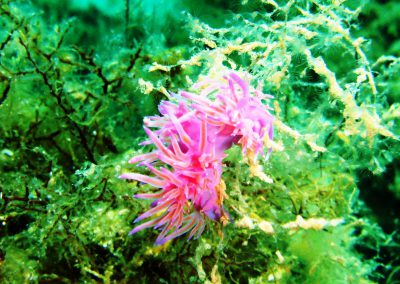 nudibranch, underwater, Zenobia, colourful